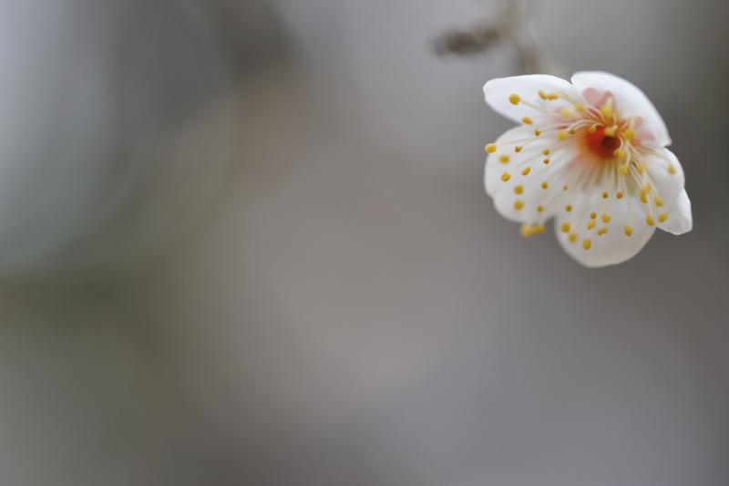 0Plum blossom.jpg